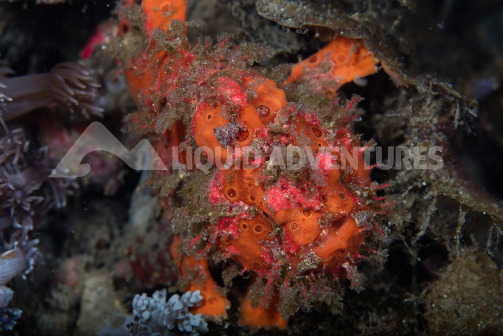 cand 5dsr frogfish